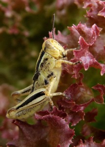 grasshopper-on-lettuce-bf-2008may30-lah-007