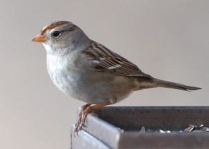 white-crowned-sparrow-at-feeder_fcnc_lah_2888nef