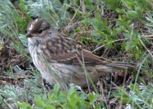 white-crowned-sparrow-juv_cottonwoodpass-co_lah_8440