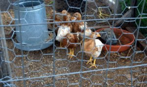 chicks_dbg_lah_5081