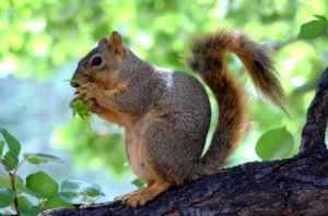 fox-squirrel_dbg_lah_7658