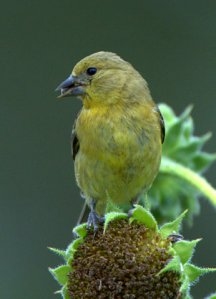 lesser-goldfinch_blkforest-co_lah_8385