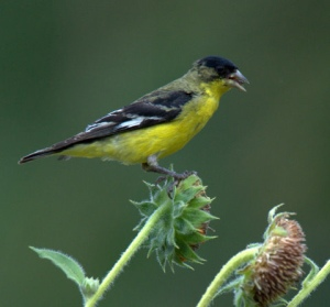 lesser-goldfinch_blkforest-co_lah_8459-1