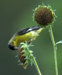 lesser-goldfinch_blkforest-co_lah_8554