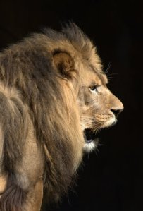 lion_zoo-idahofalls-id_lah_8928