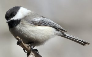 black-capped-chickadee_carsonnaturecenter-littletonco_20100406_lah_1996