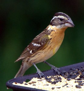 black-headed-grosbeak_blkforest-co_lah_6171-1