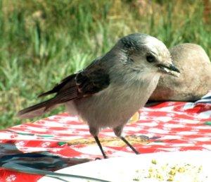 gray-jay-turquoiselake-2004sept13-lah-002