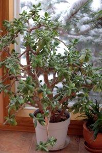 jade-plant_home_lah_2725