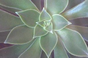 succulent_dbg_lah_2165