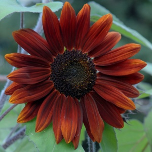 sunflower-moulin-rouge_hudsongardens-co_lah_6170nef