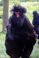 crevecoeur_chicken-wikipedia-1
