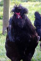 crevecoeur_chicken-wikipedia-1