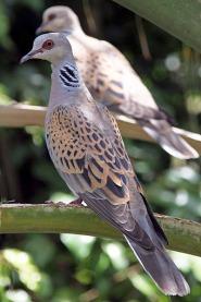 european-turtle-dove_streptopelia_turtur-wikipedia