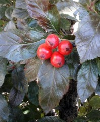 ilex_holly-berries-1