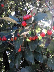 ilex_holly-berries