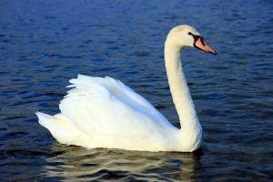 mute-swan-wikipedia-2