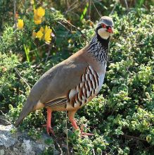 red-partridge-alectorisrufa-wikipedia
