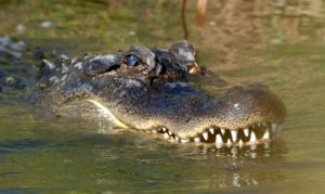 alligator_padreis-tx_lah_0446-1