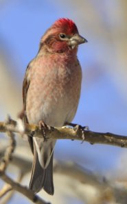 cassins-finch_laveta-co_lah_5230