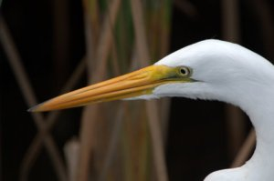 great-egret_padreis-tx_lah_0511