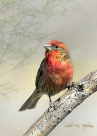 House Finch_1977r3