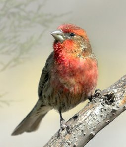 house-finch_carsonnaturecenter-littletonco_20100406_lah_1977r3