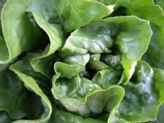 lettuce-butterhead-blkforestco-5junt07-lah-006