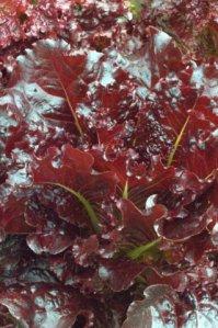 lettuce_dbg_lah_1459