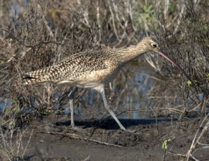 long-billed-curlew_padreis-tx_lah_0305-1
