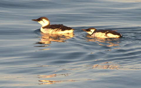 common-murre-male-with-chick_depoebayor_20090922_lah_1764