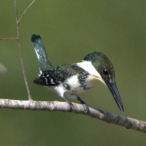 green-kingfisher_sabalpalms-brownsville-tx_lah_0580