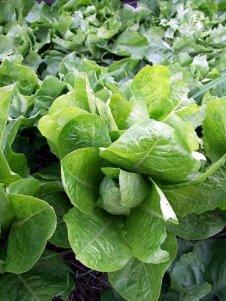 lettuce-butterhead-blkforestco-5junt07-lah-003