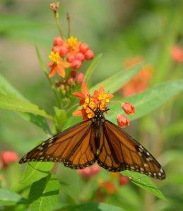 monarch-butterfly_sabalpalms-brownsville-tx_lah_4292