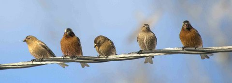 rosy-finches-on-wire_lavetaco_20100320_lah_0036nef