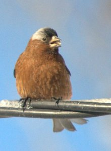 rosy-finches-on-wire_lavetaco_20100320_lah_0038