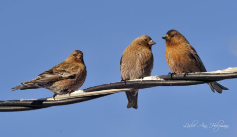 rosy-finches-on-wire_lavetaco_20100320_lah_9862