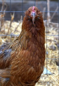 chickens_blkforest-co_lah_9289
