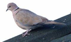 eurasian-collared-dove_fcnc_lah_3065-1