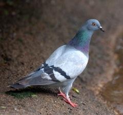rock-pigeon_denverzoo_20090527_lah_1325