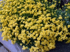 aurinia-saxatilis-basket-of-gold-dbg-lah-017