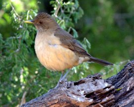 clay-colored-thrush_bentsen-riograndesp-tx_lah_4735