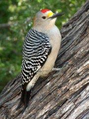 golden-fronted-woodpecker_bentsen-riograndesp-tx_lah_4932