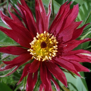 pulsatilla-sp-pasque-flower-dbg-lah-006