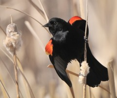 red-winged-blackbird_kiowacreeksanctuary-blkf-co_lah_07081