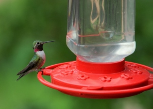 broadtail-hummingbird-home-lah-780