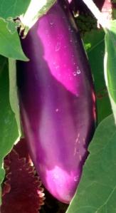 eggplant-dbg-19sept05-lah-230
