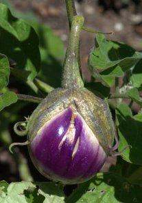 eggplant_dbg-co_lah_9256