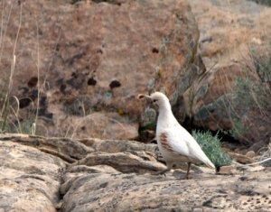 gambels-quail-leucistic_colonatlmon-co_lah_4179