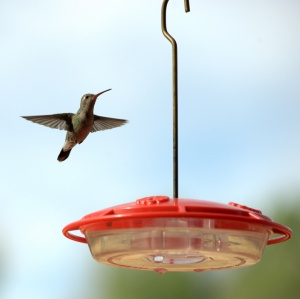 hummingbird_patagonia-az_plh_7429nef